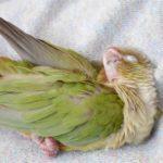 インコが片目を閉じてじっとしているのは寝ているの?