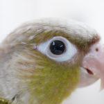 よく「鳥目」っていうけど、鳥は夜は目が見えないの?インコの視覚について