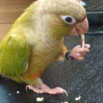 鳥にも利き足があった!!あなたのインコはどちらの足で物を掴む?