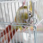 ウロコインコは脱走の常習犯!!小鳥の脱走防止はどうする?