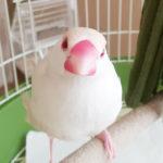 ペット飼育を反対されていた友達の子供が文鳥を飼うに至ったお話