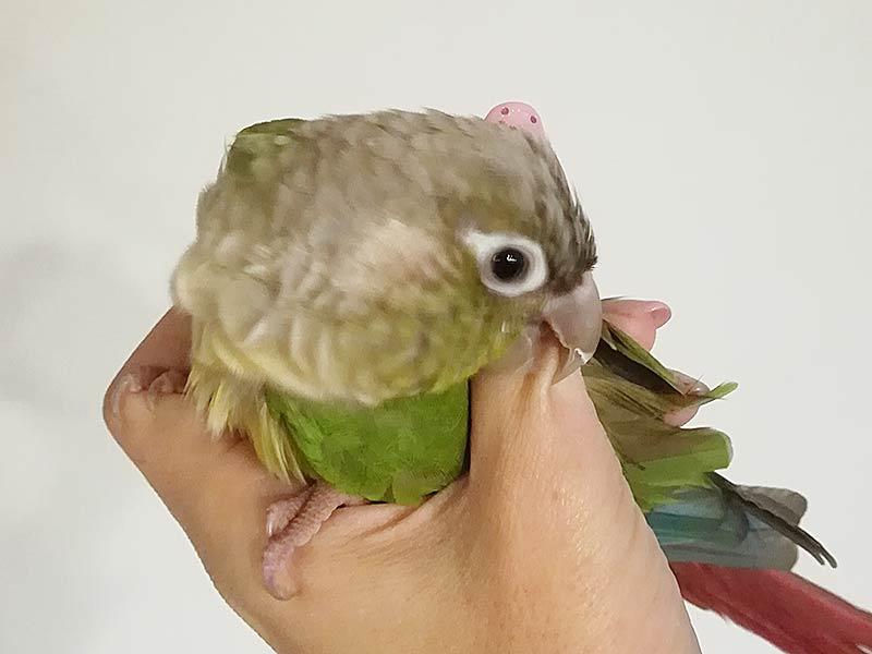 セキセイ インコ 噛む